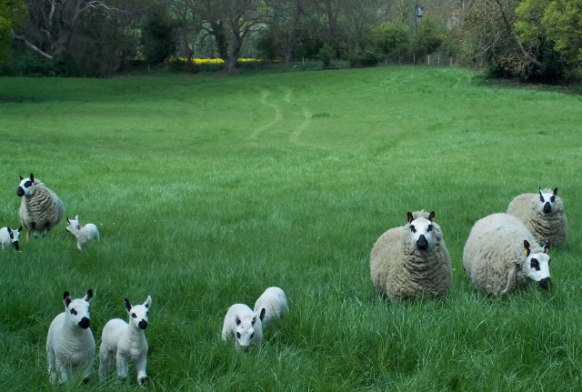 Gorgeous Kerry Hill ewes and lambs at Little Malvern last year.