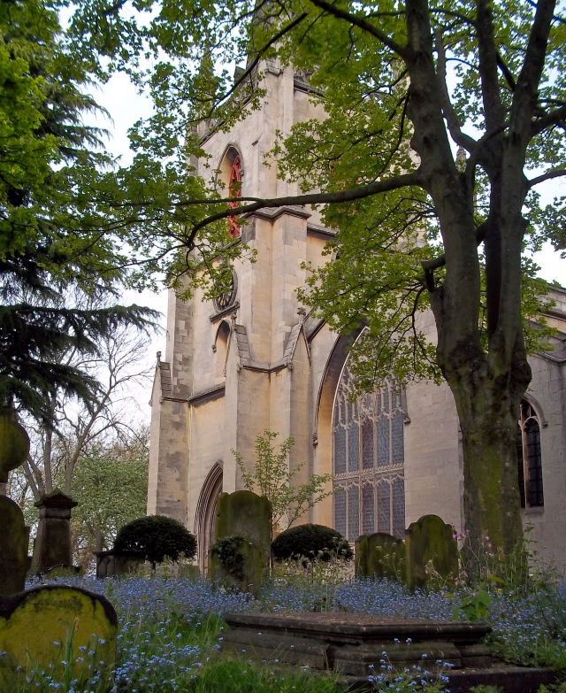 St Matthew's parish church, Walsall, a church with Norman origins.  Victorian tombstones are interleaved with Myosotis....... ****FORGET ME NOT***