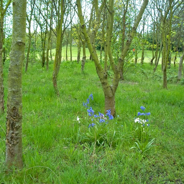 "Among this little Copse where Forge Street stood, there don't seem to have been any birches planted  in memory of the landscape of the ""Birch-Hills"" before the coal working, the lime working, and the metal working began.  There is a posy's worth of bluebells in the grass."